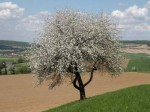 ab-apfelbaum-bei-markersdorf-web-rscn9465