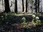bbh-pestwurz-hochedlerwald-web-p2574