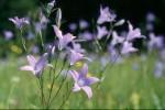 bb-wiesen-glockenblumen-web