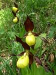 bb-frauenschuhblute-schwarzwalster-web-p3956