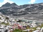 Alpenblumen im Geröll