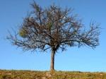 ab-ein-schoner-apfelbaum-web-dscn0734