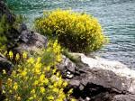 Ginsterblüte an der Küste