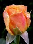 bb-juni-rosenzeit-web-p7919