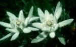 bb-edelweisbluten-web-scan843