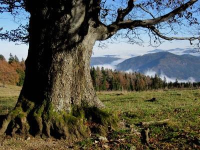 Riesenrotbuche auf der Weissenbachalm