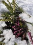 """Schneeheide oder """"Zermat"""" noch im Schnee"""