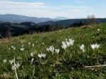 AB Altes Gras und junge Krokus WEB DSCN3125