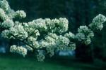 BB Birnblüte Mostviertel WEB Scan672