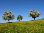 BB Drei blühende Bäume WEB DSCN3195