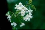 BB Kirschblüte WEB Scan671