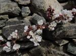 Marillenblüte am 4. April