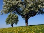 BB Zwei blühende Bäume WEB DSCN3208