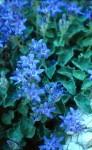 Istrische Glockenblume