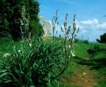 Affodilblüte bei Sveti Marak