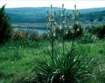 BB Affodilblüte bei Sveti Marak WEB Scan1240