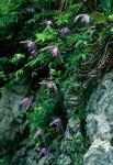BB Alpenwaldrebe WEB Scan1322