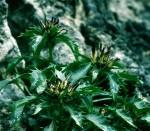 Alpinum Julianum - Dolomiten-Teufelskralle