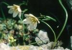 Faltenlilie
