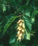 BB Hopfenbuche Frucht WEB Scan1327