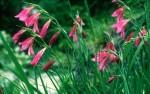 Illyrische Gladiolen