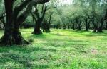 Olivengärten