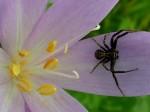 AB Spinne in der Herbstzeitlose WEB RSCN1709