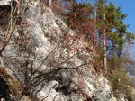 Österreichische Mehlbeere (?) auf Felsstandort