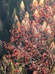 Auffallend rotfrüchtiger Baum