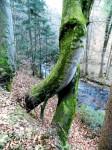 Wandernde Bäume