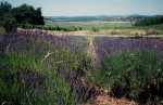 Lavendelblüte ab Anfang Juni (gegen Äußeren See)