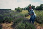 BB Lavendelpflücken WEB Scan1592