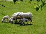 Schafe beim Futtern !