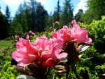 AB Blüte der Rost-Alpenrosen