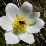 AB Anemonenblüte WEB DSCN1541