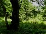 Bergahorn bei der Hirschsuhle