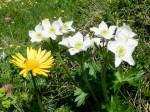 Gemswurz und Narzissen-Windröschen, weniger auffallend der kleine Alpenbrandlattich