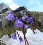 Soldanellen - zwar in Felsenhöhe, aber trotzdem Wald-Soldanelle (?)