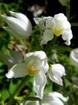 AB Die selten geöffneten Blüten des Schwert- und Schmalblättrigen Waldvögleins
