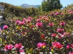 BB Alpenrosenblüte WEB DSCN1131