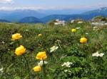 Trollblumen und Windröschen (Alpen-Anemonen schon verblüht)
