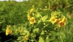 Alpenrachen oder Tozzia alpina, eher selten, aber auf den höheren Voralpengipfeln zu finden