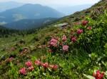 AB Almrauschblüte auf der Dörfler Alm