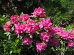 BB Rost-Alpenrosen (auf kalkfreiem Gestein, Blattunterseiten rostbraun)