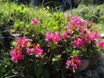 Kalkalpine Wimper-Alpenrosen