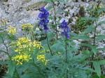 Patriotische Blumen - Eisenhut und Johanniskraut (oder?)