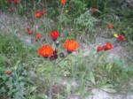 Sehr hübsch - Orangerotes Habichtskraut