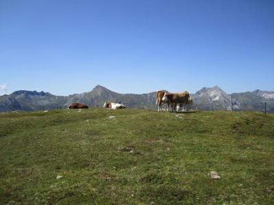 Aiblhöhe mit Rindviechern