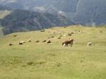 Friedliche Kuh-Herde bei der Blutigen Alm