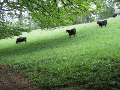 Das schwarze Rindervolk auf der Mittagskogel-Wiese